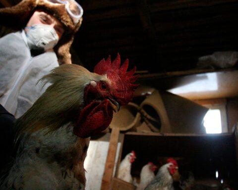 bird flu russia
