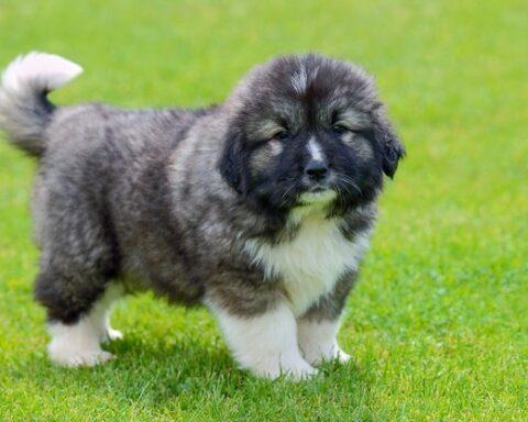 Georgian (caucasian) shepherd puppy